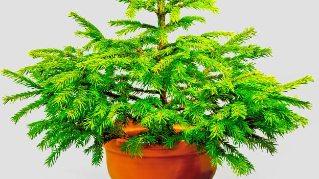 Der Tannenbaum als Topfpflanze.
