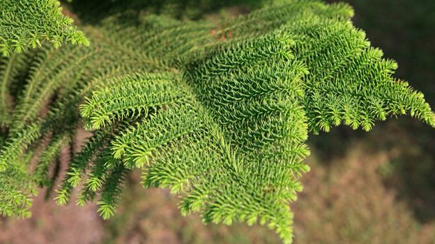 Zweig einer Norfolk-Tanne.