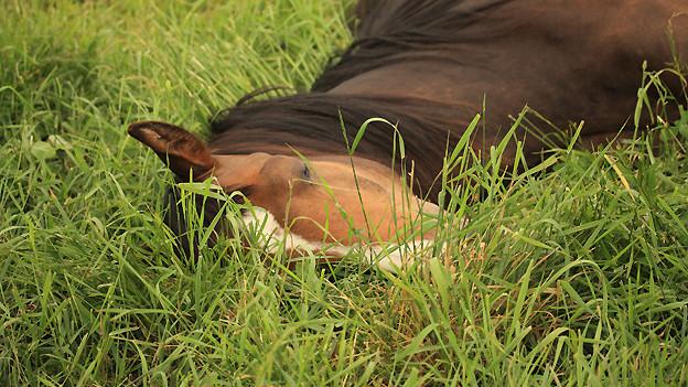 Kadaver eines toten Pferds. Es wäre früher im «Wase» durch den «Wasemeischter» begraben worden.