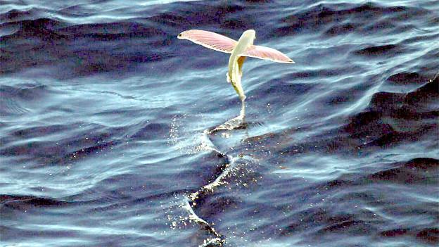 Sehen wie Flügel aus, sind aber Flossen bei diesem Fliegenden Fisch.