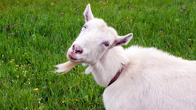 Früher wurden vor allem Ziegen als «heimlifeiss» bezeichnet, wenn sie «im Verborgenen fett» waren.