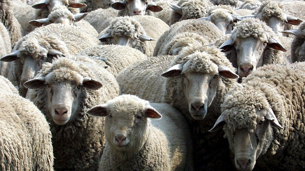 «Schaf» reimt sich auf «Schlaf», da liegt «Schäfchenzählen» nahe.