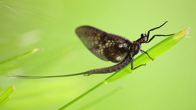 Ausgewachsene Eintagsfliegen verfügen über keinen funktionstüchtigen Darm.