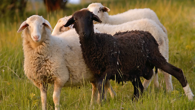 Das «Schwarze Schaf» steht für unangebrachtes Benehmen.