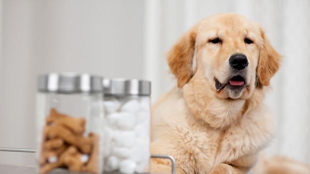 Ein Golden Retriever im Wartezimmer vor zwei Dosen mit Hundekeksen.