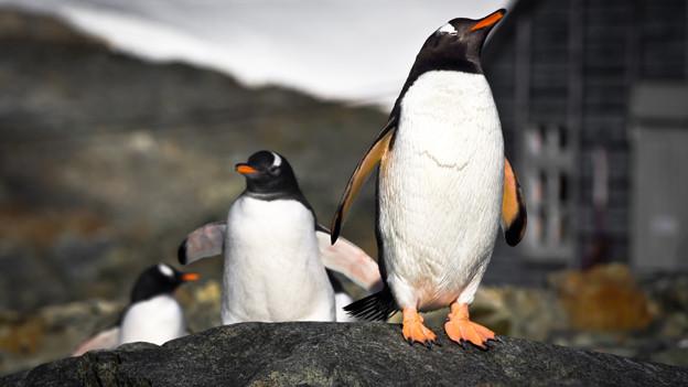Dank ihrer Reise in die Antarktis konnte Anita Brehmi Pinguine aus sicherer Distanz beobachten (Symbolbild).