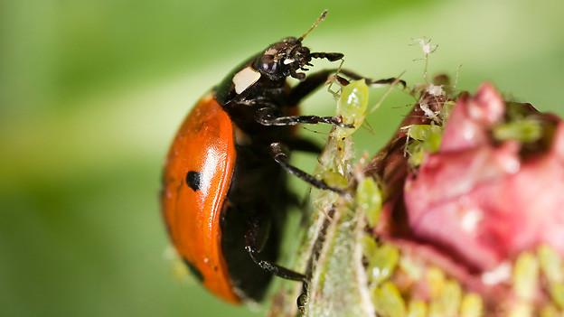 Natürlicher Blattlausvertilger: Blattläuse sind die Leibspeise der Marienkäfer.