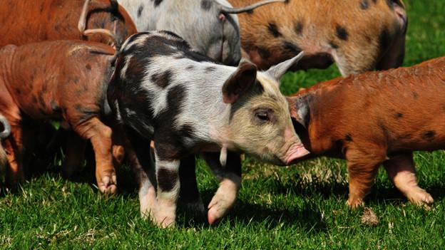 Verschieden farbige Schweine.