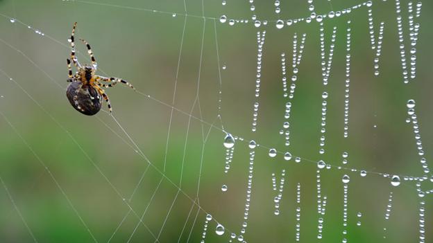 Eine dicke Spinne auf einem Spinnennetz, auf dem Tautropfen schimmern.
