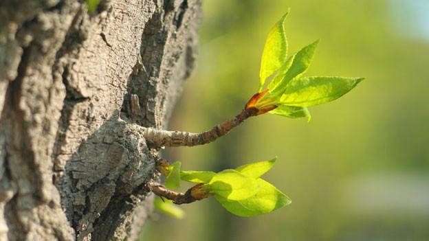 Blätter spriessen aus Baumrinde.