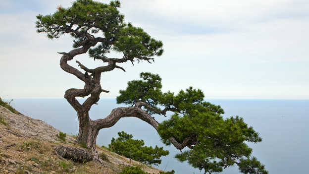 Ein in die breite gewachsener Baum auf einer Felsklippe.