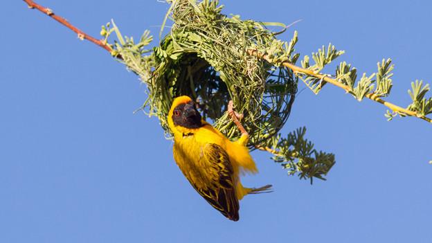 Ein gelber Vogel hängt an einem fast fertig erstellten Nest.