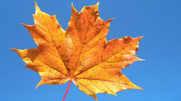 Ein einzelnes Ahornblatt in herbstlichen Farben vor einem strahlend blauen Himmel.