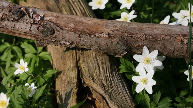 Buschwindröschen rund um trockene Holzstämme.