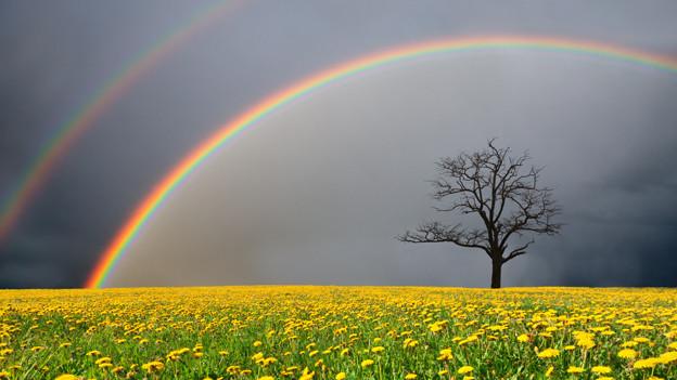 Ein doppelter Regenbogen spannt sich über einen Baum, der auf einem Feld mit lauter Löwenzahnblumen steht.