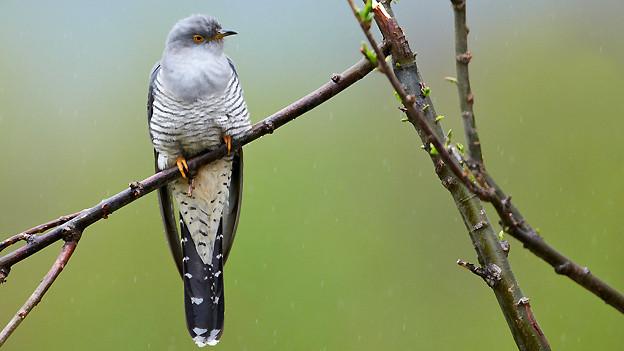 Ein Kuckuck auf einem dünnen Baumast.