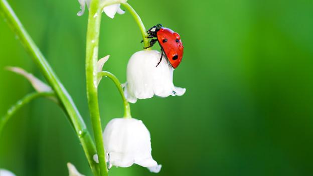 Ein Marienkäfer auf der Blüte eines Maiglöckchens.