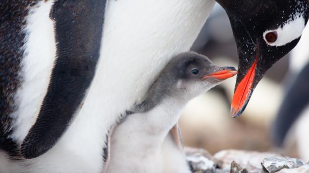 Ein kleiner Pinguin sitzt zwischen den Füssen seiner Mutter.