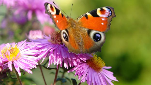 Herrlicher Schmetterling auf Blüte.