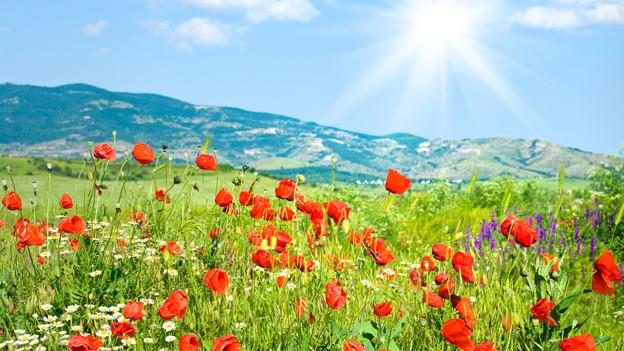 Prächtige Sommerwiese in sattem grün mit roten Mohnblumen.