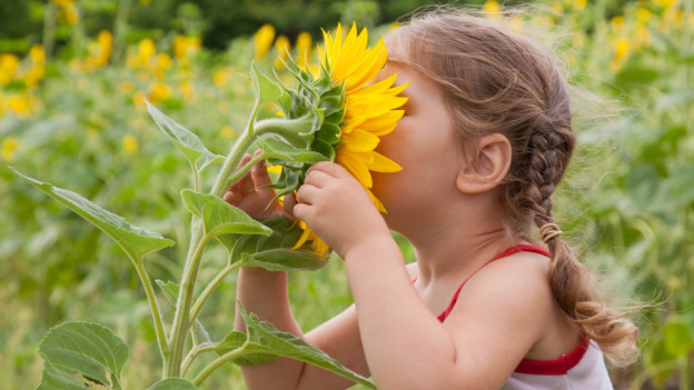 Ein Mädchen steckt seinen Kopf in die grosse Blüte einer Sonnenblume.