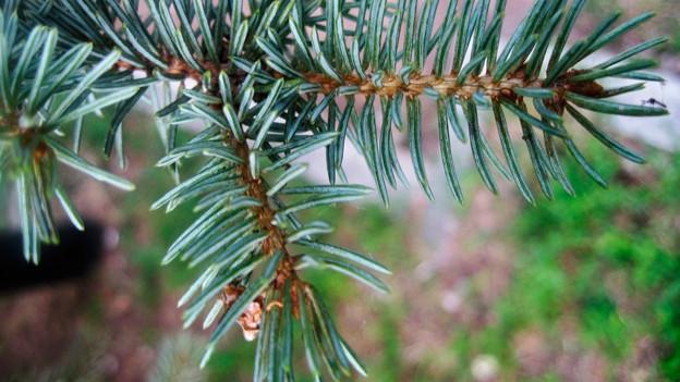 Auch ungeschmückt wertvoll: Stamm und Äste einer Tanne lassen sich nach Weihnachten im Garten vielfältig verwenden.