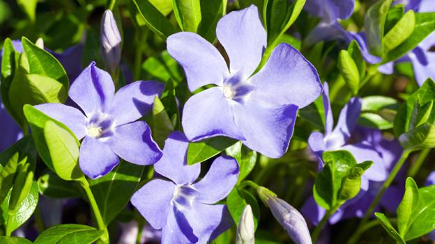 Violette Vinca-Blüten.