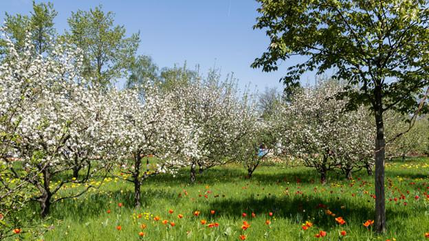 Lauter blühende Obstbäume.