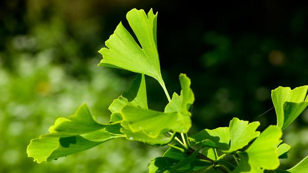 Blätter eines Ginkgobaumes.