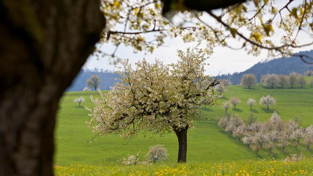 Blick auf eine Wiese mit vielen blühenden Obstbäumen.