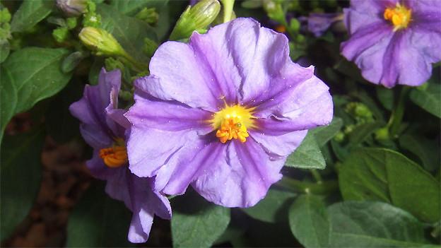 Grossaufnahme einer blauen Blüte.