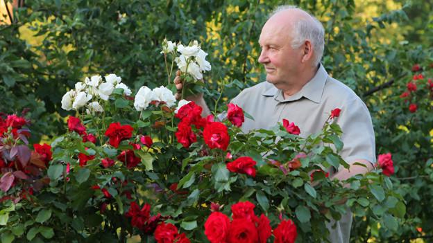 Ein älterer Mann hinter einem roten und einem weissen Rosenstrauch.