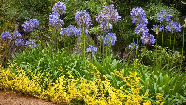 Mehrere Schmucklillien in violett-blau Ton in Blumenbeet.