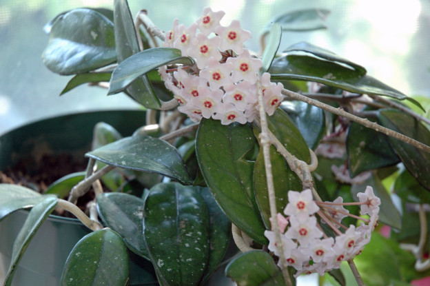 Die Blume wächst in dichten Büscheln. Dieses Exemplar hier ist weiss mit roten Stempeln. Die Blüten erinnern tatsächlich ein wenig an ein Wachsgebilde.