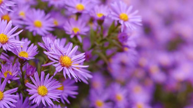 Ein grosser Strauch violett blühender Astern.