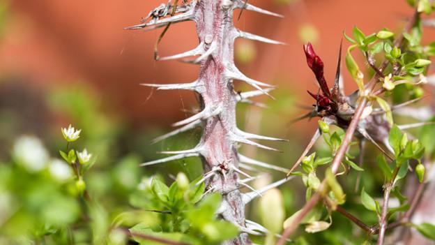 Ein Ast voller Dornen, daneben ein feiner Ast, der kleine Blüten trägt.
