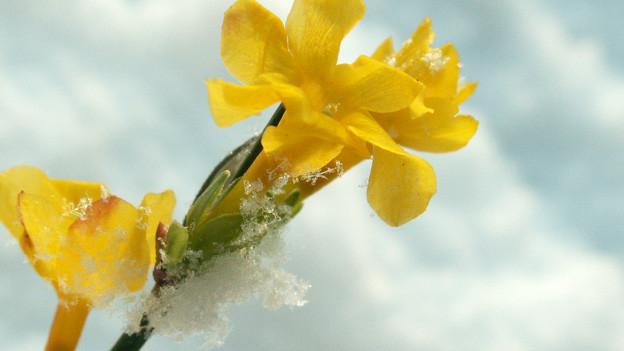 Gelbe Blüte des Winterjasmin, der von einer zarten Schicht Eis überzogen ist.
