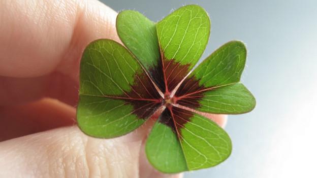 Ein grosses grünes vierblättriges Kleeblatt mit einer braunen Mitte.
