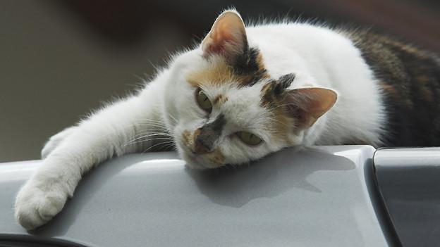 Eine braun-weisse Katze räkelt sich auf dem Autodach.
