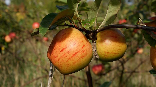 Zwei reife Äpfel an einem Ast.