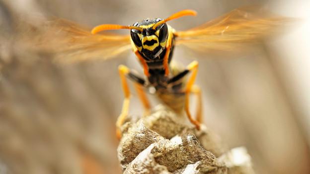 Grossaufnahme einer Wespe mit gelb-schwarzem Kopf und ausgespannten Flügeln.