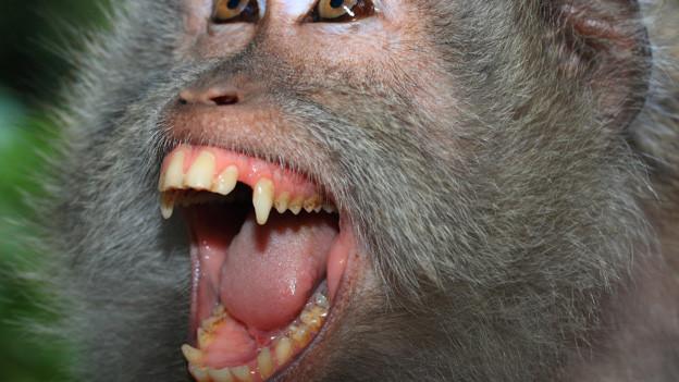 Ein Affe mit gefletschten Zähnen.