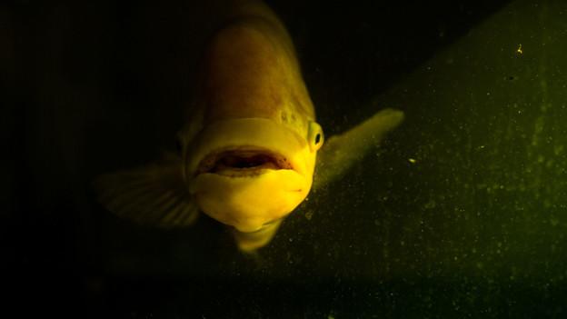 Ein grosser gelber Fisch schwimmt im trüben Wasser.