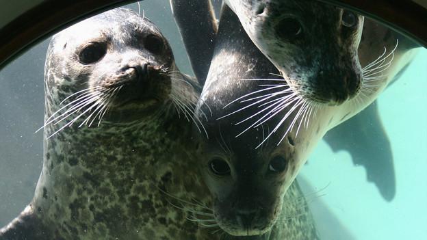 Drei neugierige Seehunde stossen ihre Nasen ans Fenster eines Bullauges.