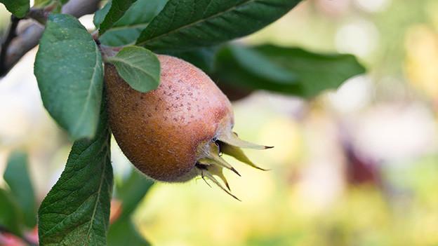 Eine ovale hellbraune Frucht, umrahmt von langen grünen Blättern.