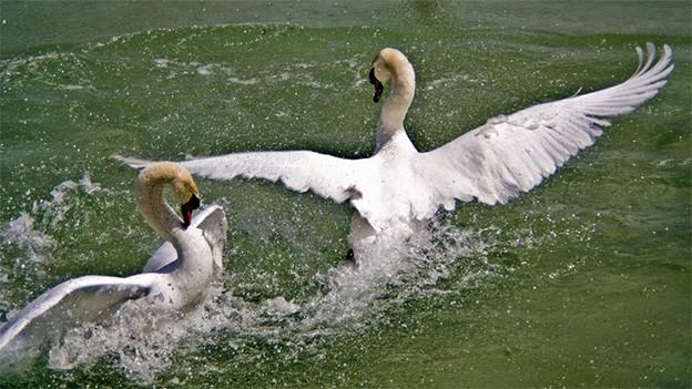 Zwei Schwäne im Wasser.