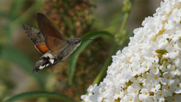 Ein grosses Insekt im Anflug einen riesigen weissen Fliederbusch.