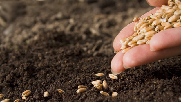 Eine mit Samenkörnern gefüllte Hand über dunkler Erde.