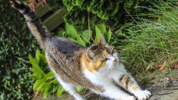 Katze mit neugierig hochgestrecktem Schwanz.
