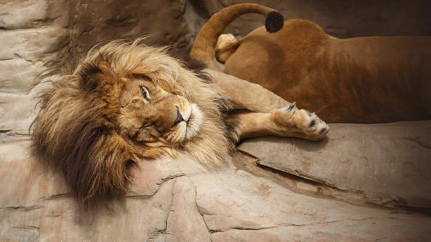 Ein Löwe liegt faul auf einem Felsen und döst vor sich hin.